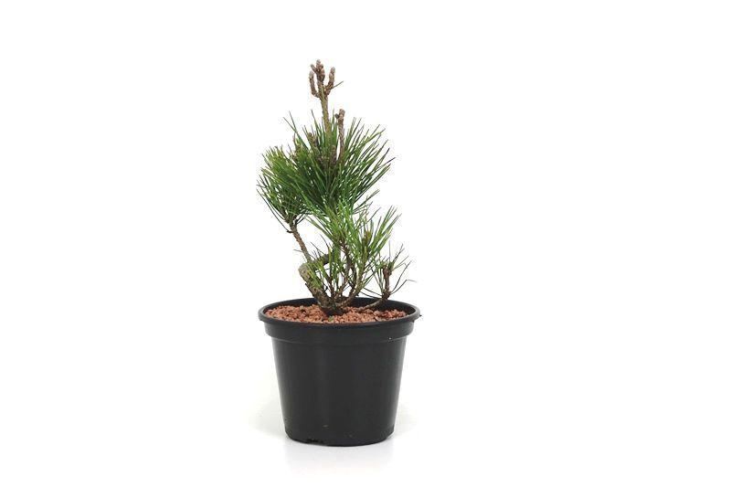 Pré-Bonsai Pinheiro Negro - 06 anos - medida da planta (AxL)  23x11 cm