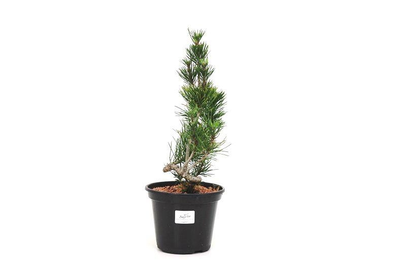 Pré-Bonsai Pinheiro Negro - 06 anos - medida da planta (AxL)  29x8 cm