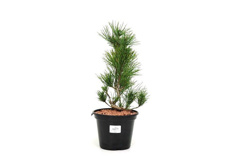 Pré-Bonsai Pinheiro Negro - 06 anos - medida da planta (AxL)  30x10 cm