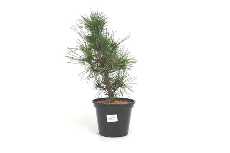 Pré-Bonsai Pinheiro Negro - 06 anos - medida da planta (AxL) 30x15 cm