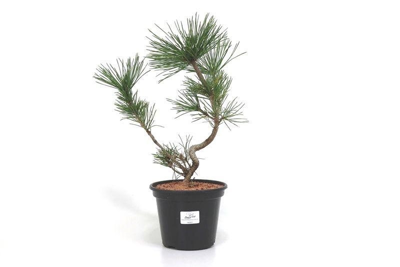 Pré-Bonsai Pinheiro Negro - 06 anos - medida da planta (AxL) 31x20 cm