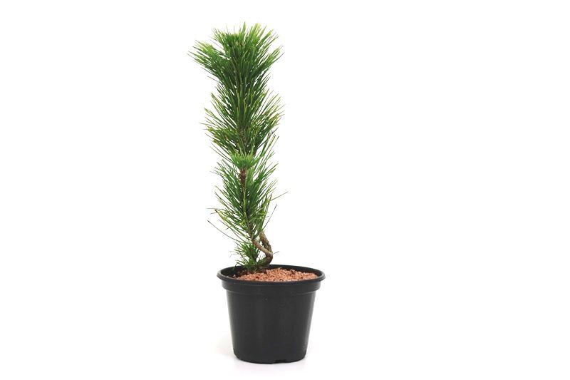 Pré-Bonsai Pinheiro Negro - 06 anos - medida da planta (AxL)  34x6 cm