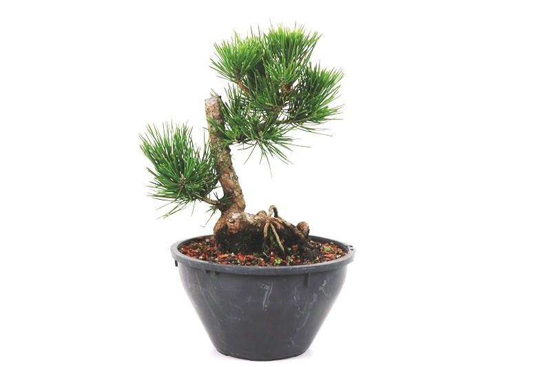 Pré-Bonsai Pinheiro Negro - 08 anos - medida da planta (AxL) 21x18 cm