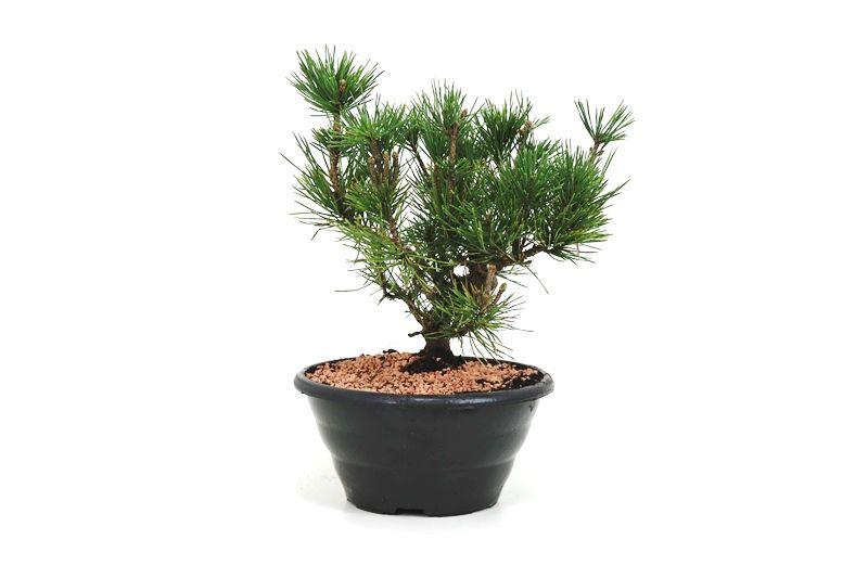 Pré-Bonsai Pinheiro Negro - 08 anos - medida da planta (AxL) 22x13 cm