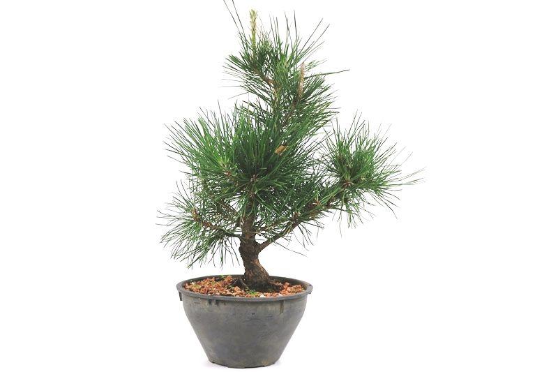 Pré-Bonsai Pinheiro Negro - 08 anos - medida da planta (AxL) 30x30 cm