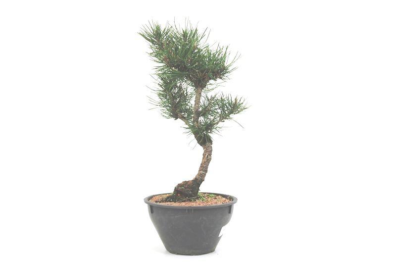 Pré-Bonsai Pinheiro Negro - 08 anos - medida da planta (AxL) 34x19 cm