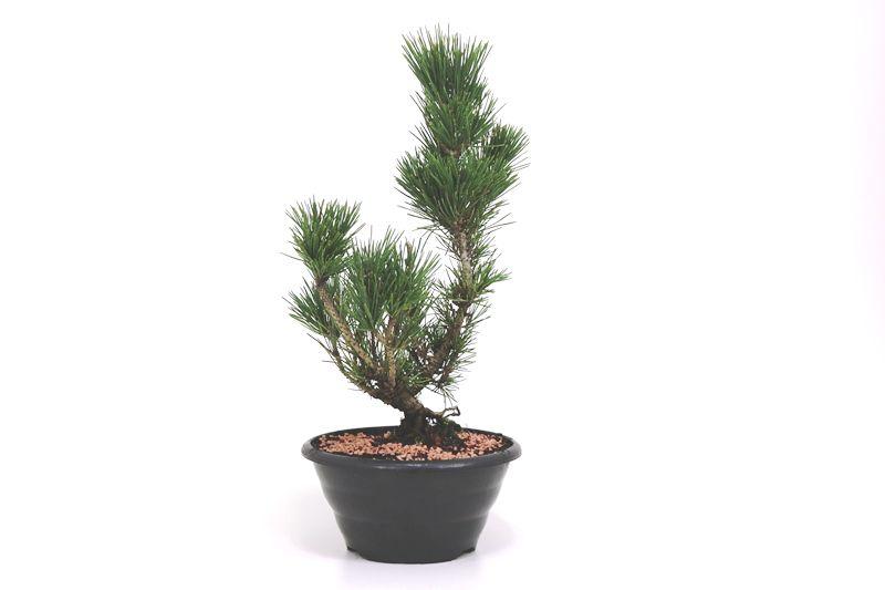 Pré-Bonsai Pinheiro Negro - 08 anos - medida da planta (AxL) 39x17 cm
