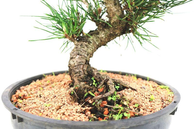 Pré-Bonsai Pinheiro Negro - 10 anos - medida da planta (AxL) 37x24 cm
