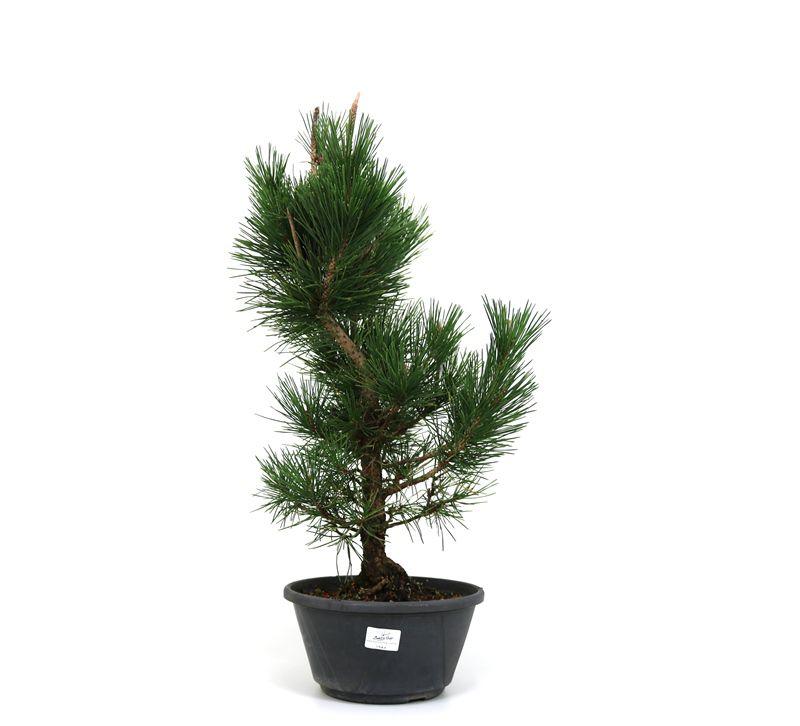 Pré-Bonsai Pinheiro Negro - 14 anos - medida da planta (AxL) 54x27 cm