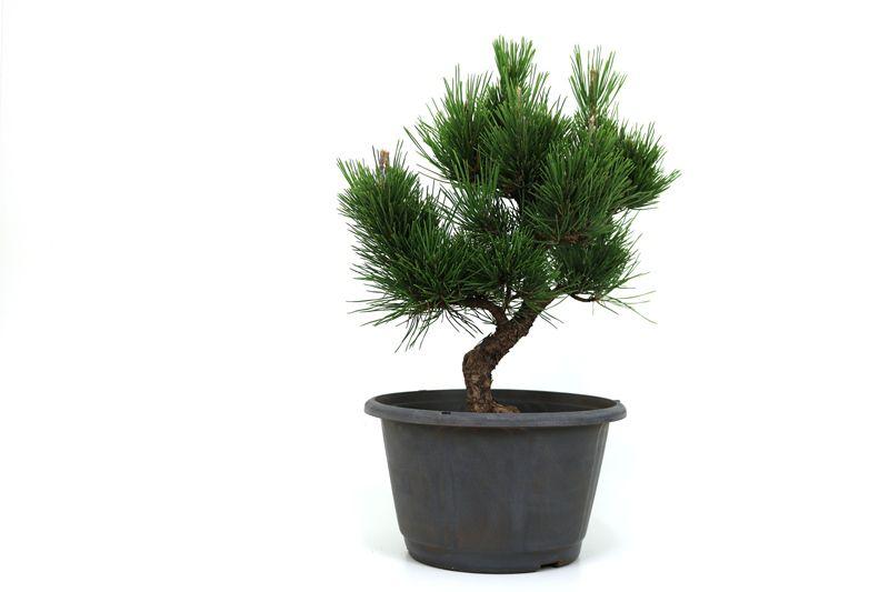 Pré-Bonsai Pinheiro Negro - 16 anos - medida da planta (AxL) 42x37 cm