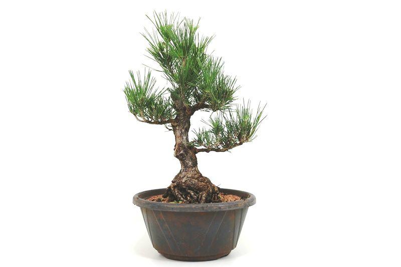 Pré-Bonsai Pinheiro Negro - 18 anos - medida da planta (AxL) 39x32 cm