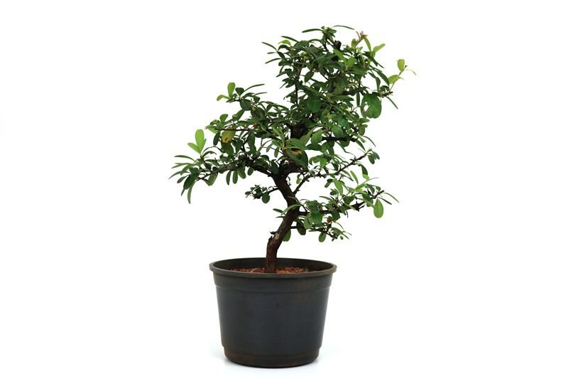 Pré-Bonsai Piracanta amarela 06 anos - medida da planta (AxL) 32x26cm