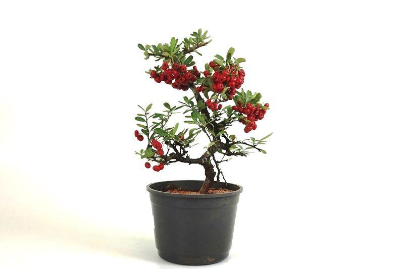 Pré-Bonsai Piracanta vermelha 06  anos - medida da planta (AxL) 30x26 cm