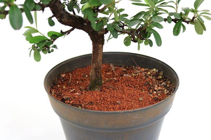 Pré-Bonsai Piracanta vermelha 06  anos - medida da planta (AxL) 32x26 cm