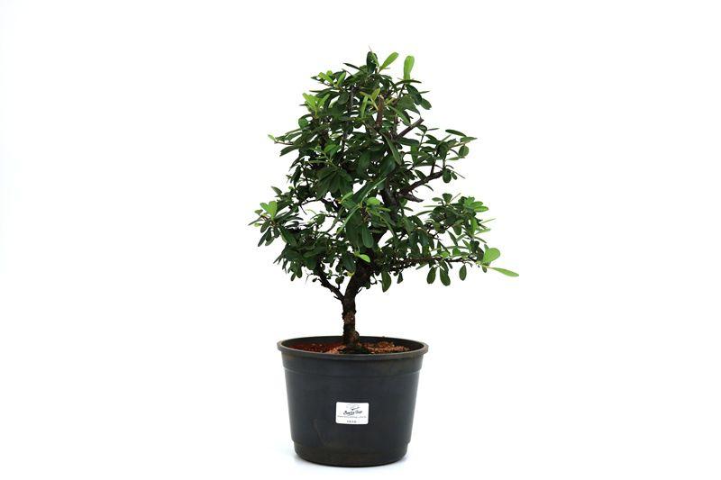 Pré-Bonsai Piracanta vermelha 06  anos - medida da planta (AxL) 33x26 cm