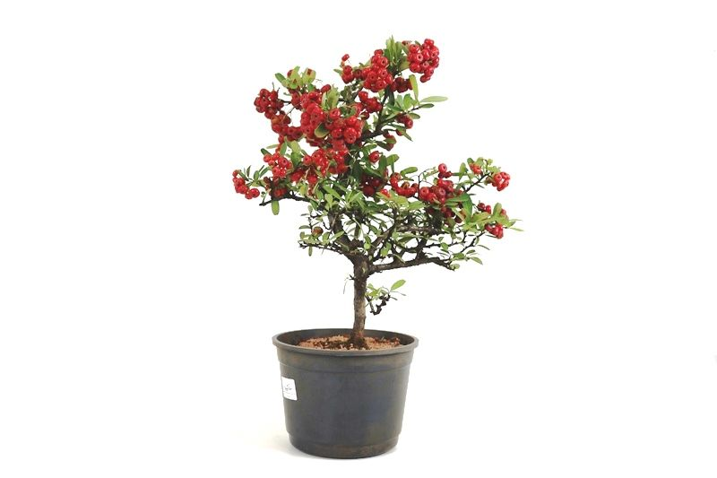 Pré-Bonsai Piracanta vermelha 06  anos - medida da planta (AxL) 35x25 cm