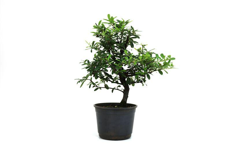 Pré-Bonsai Piracanta vermelha 08 anos - medida da planta (AxL) 35x29cm
