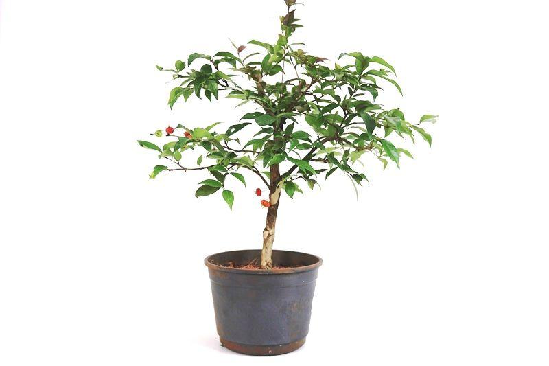 Pré-Bonsai Pitanga 06 anos - medida da planta (AxL) 35x36 cm