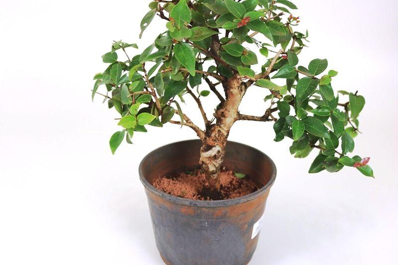 Pré-Bonsai Pitanga 08 anos - medida da planta (AxL) 27x32 cm