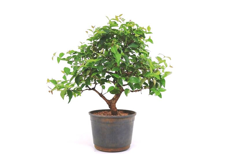 Pré-Bonsai Pitanga 08 anos - medida da planta (AxL) 37x39 cm