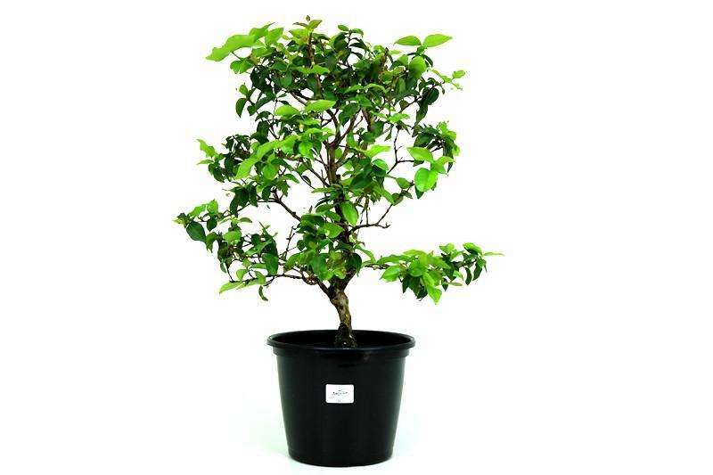 Pré-Bonsai Pitanga 08 anos - medida da planta (AxL) 40x30 cm