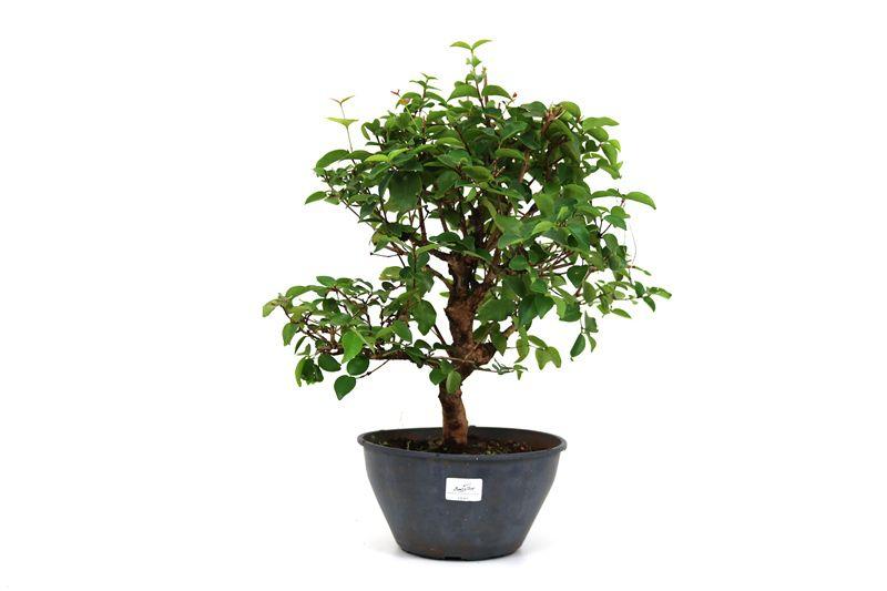 Pré-Bonsai Pitanga 08 anos - medida da planta (AxL) 40x41 cm