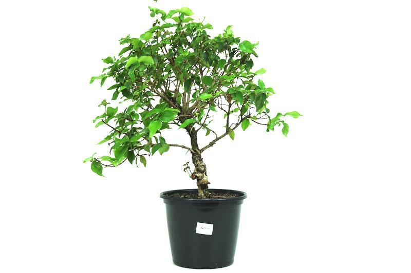 Pré-Bonsai Pitanga 08 anos - medida da planta (AxL) 43x47 cm
