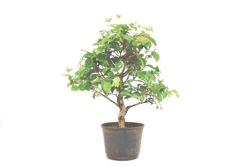 Pré-Bonsai Pitanga 08 anos - medida da planta (AxL) 45x40 cm