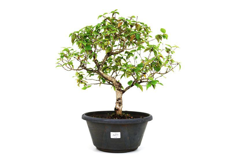 Pré-Bonsai Pitanga 10 anos - medida da planta (AxL) 39x44 cm