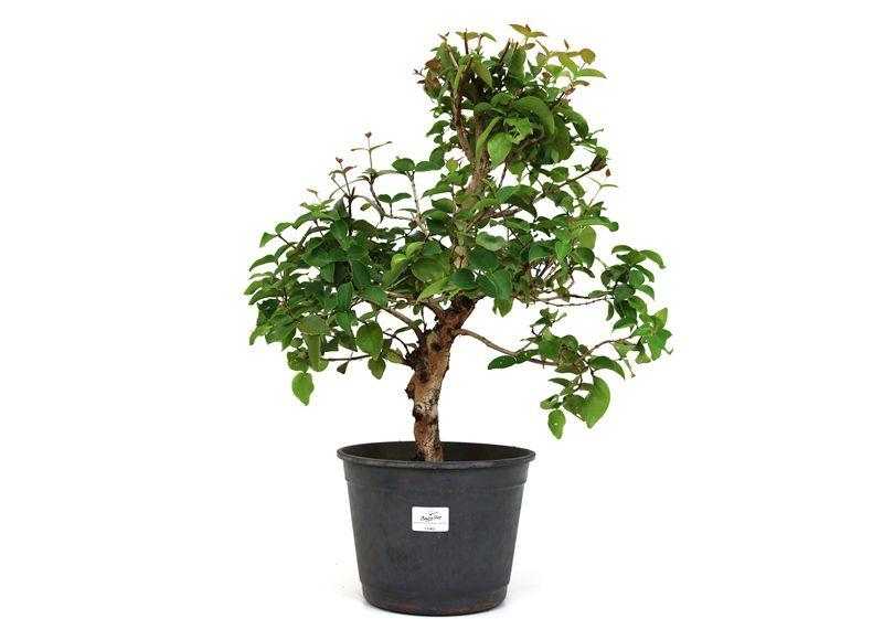 Pré-Bonsai Pitanga 10 anos - medida da planta (AxL) 41x44 cm
