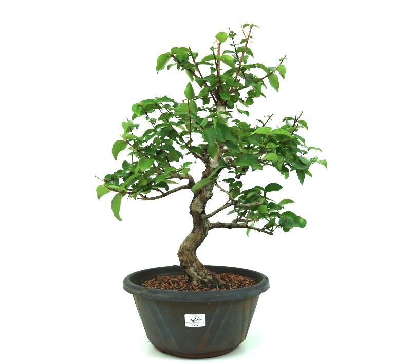 Pré-Bonsai Pitanga 12 anos - medida da planta (AxL) 48x43 cm