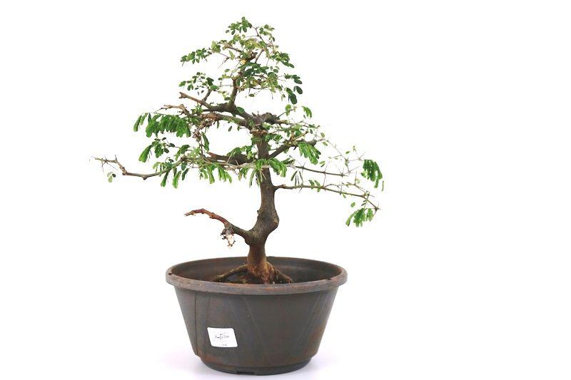 Pré-Bonsai Pithecolobium 06  anos - medida da planta (AxL) 33x36 cm