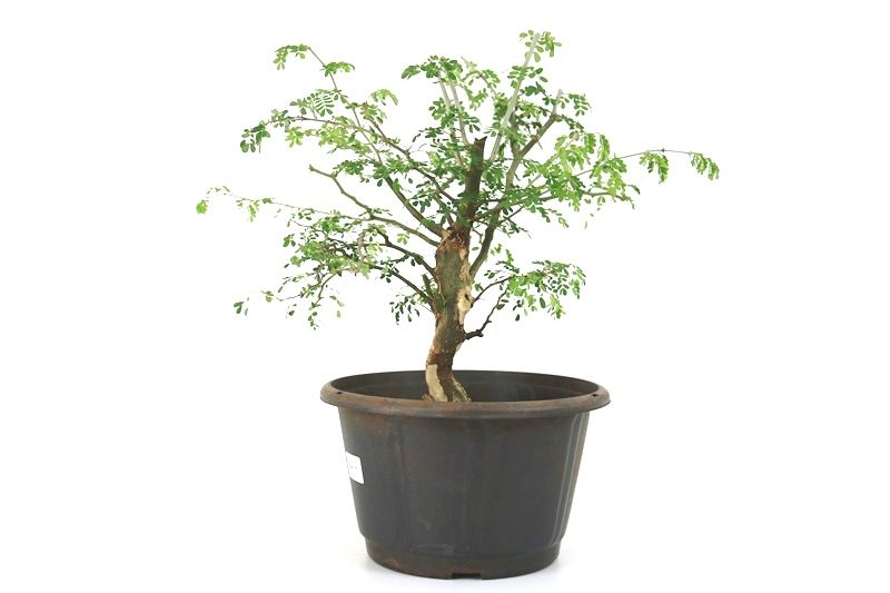 Pré-Bonsai Pithecolobium 06  anos - medida da planta (AxL) 35x37 cm