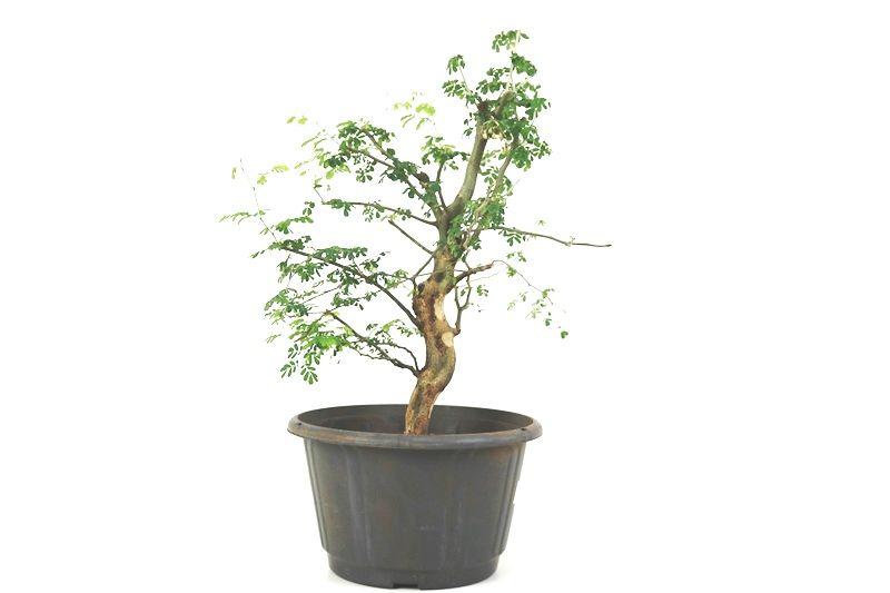 Pré-Bonsai Pithecolobium 06  anos - medida da planta (AxL) 37x26 cm