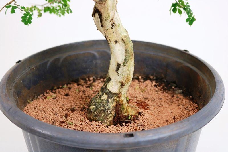Pré-Bonsai Pithecolobium 06  anos - medida da planta (AxL) 40x40 cm