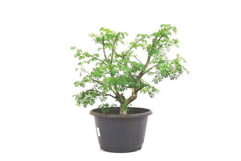 Pré-Bonsai Pithecolobium 10 anos - medida da planta (AxL) 42x40 cm
