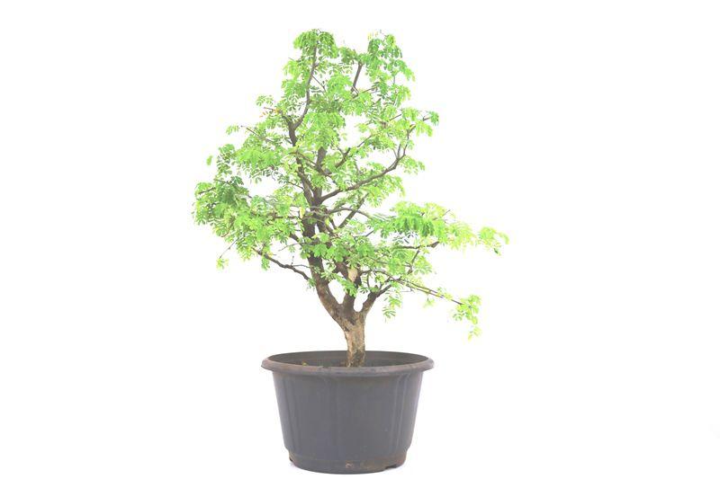 Pré-Bonsai Pithecolobium 12anos - medida da planta (AxL) 48x42 cm