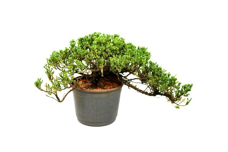 Pré-Bonsai Procumbens 08 anos Medida da Planta  (AXL) 16x35 cm