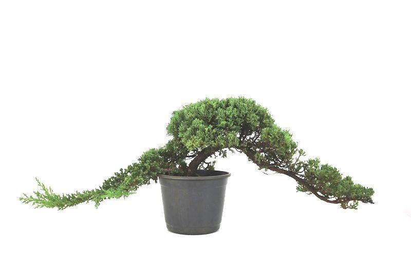 Pré-Bonsai Procumbens 10 anos Medida da Planta  (AXL) 22x70 CM