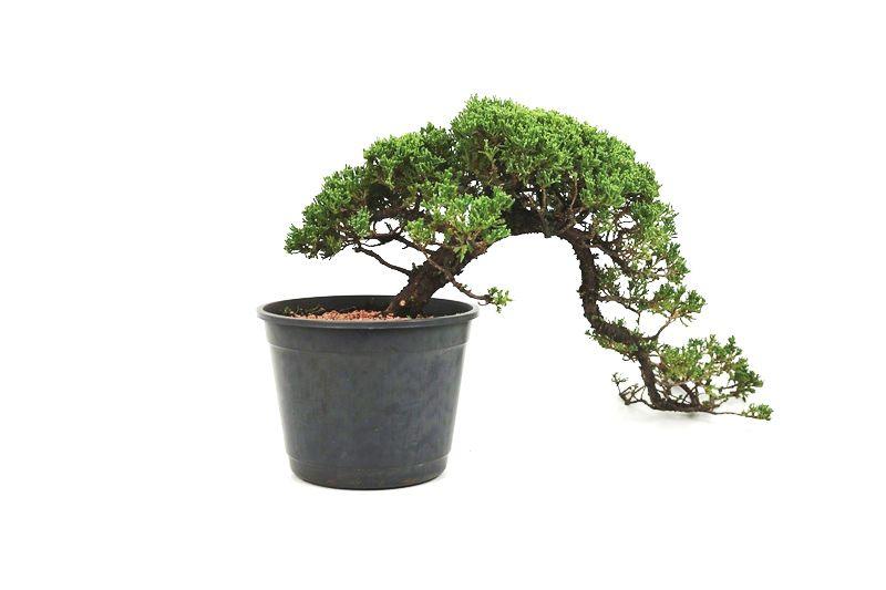 Pré-Bonsai Procumbens 12 anos Medida da Planta  (AXL)  20x56 CM