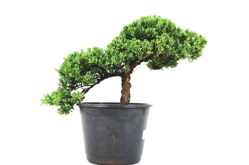Pré-Bonsai Procumbens 12 anos Medida da Planta  (AXL) 29x42 CM