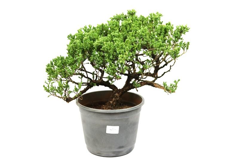 Pré-Bonsai Procumbens 12 anos Medida da Planta  (AXL)  30x32 cm