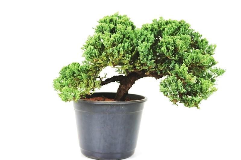 Pré-Bonsai Procumbens 13 anos Medida da Planta  (AXL) 25x42 CM