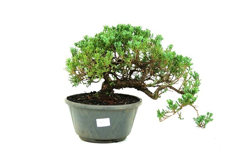 Pré-Bonsai Procumbens 14 anos Medida da Planta  (AXL) 18x36 CM