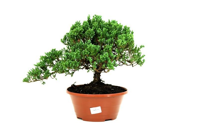 Pré-Bonsai Procumbens 14 anos Medida da Planta  (AXL) 24x29 CM