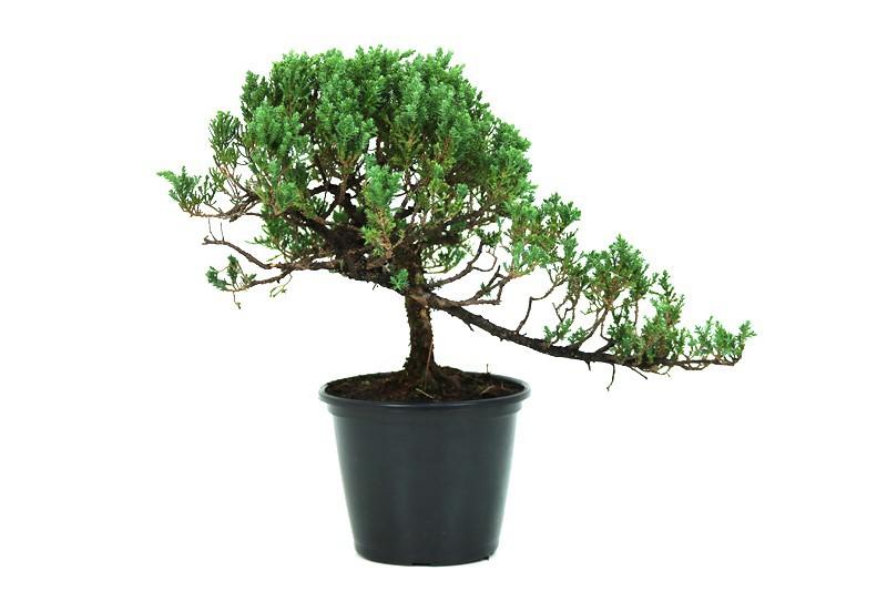 Pré-Bonsai Procumbens 14 anos Medida da Planta  (AXL) 28x42 CM