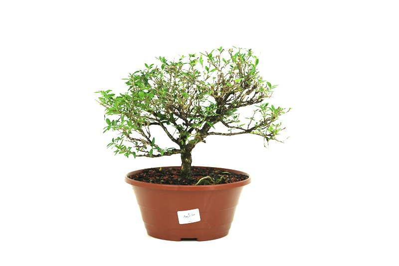 Pré- Bonsai Serissa Chinesa  06 anos - medida da planta (AxL) 21x29 cm