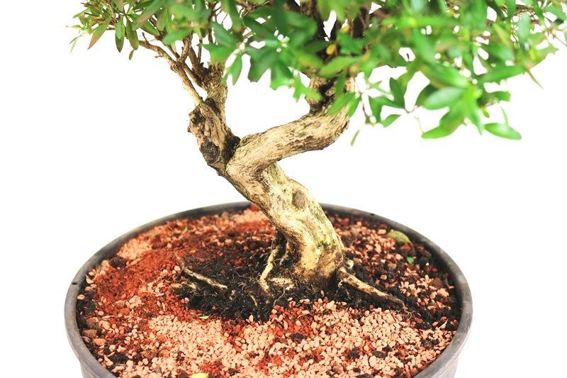 Pré- Bonsai Serissa Chinesa  06 anos - medida da planta (AxL) 25x28 cm