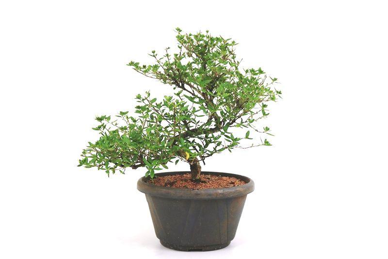 Pré- Bonsai Serissa Chinesa  06 anos - medida da planta (AxL) 25x30 cm