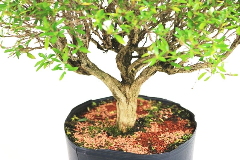 Pré- Bonsai Serissa Chinesa  06 anos - medida da planta (AxL) 25x31 cm